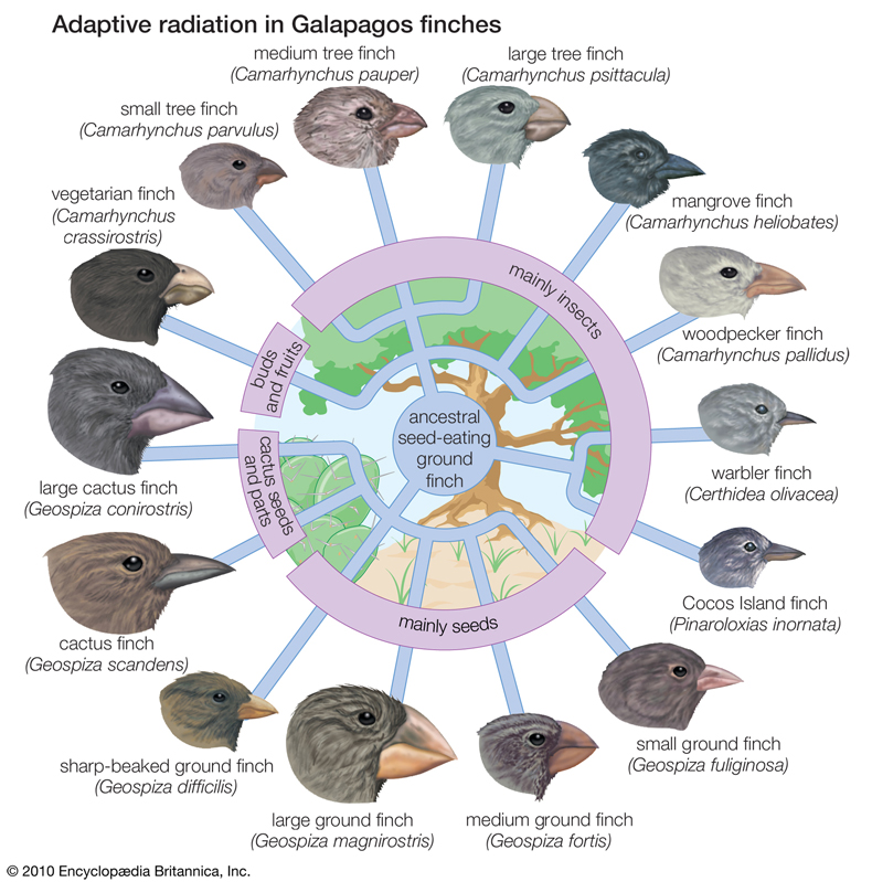 Adaptative radiation in Galapagos finches